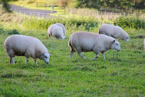 Grass, Sheep, Animal, Farm, Hayfield, Green, Cute, Wool