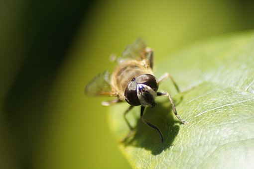Nature, Insect, Animal World, Animal, Hoverfly