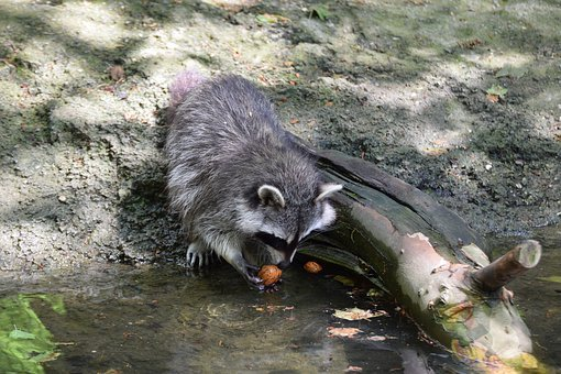 Nature, Animal World, Mammal, Animal, Waters, Raccoon