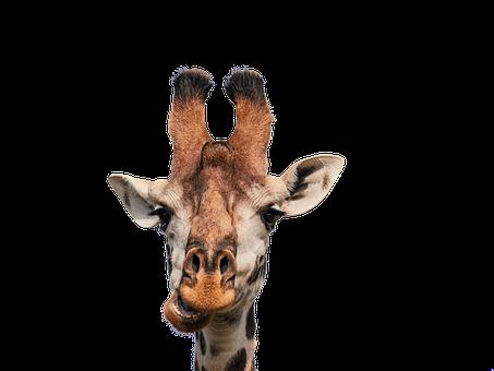 Giraffe, Head, Isolated, Eat, Chew, Funny, Mammal