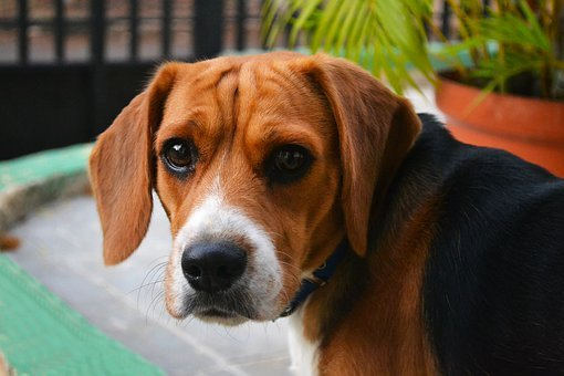 Puppy, Race, Pure Breed, Young, Small, Hound, Funny