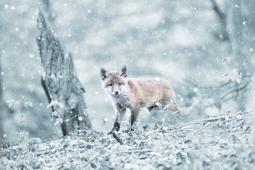 Fuchs, Forest, Mammal, Snow, Winter, Cold, Frosty