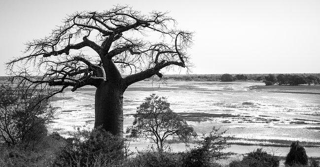 Baobab Tree, Tree, Silhouetted, Chobe River