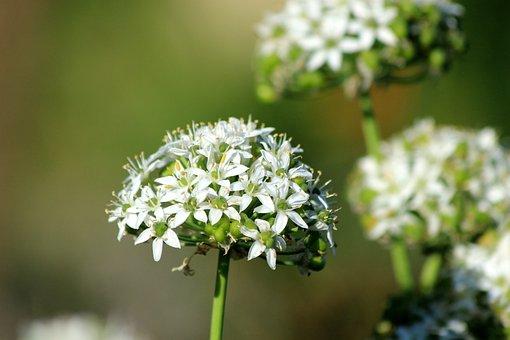 Ramsons, Wild Garlic, Bear Bow, Bloom, Nature, Spring