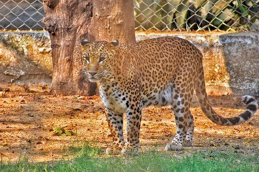 Wildlife, Nature, Animal, Mammal, Cat, Zoo, Leopard