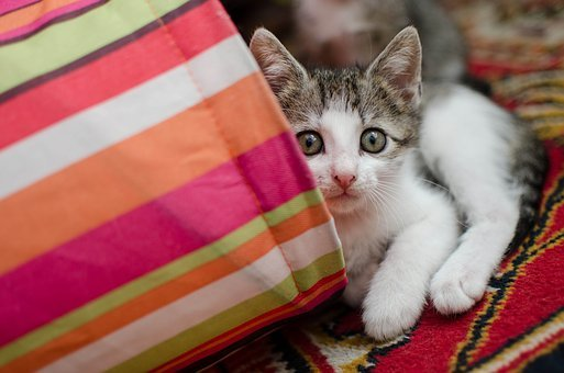 Cat, Kitten, Domestic Cat, Cat's Eyes, Cat Staring
