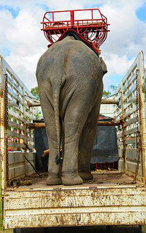 Going, Home, Elephant, Back, Truck, Surin, Thailand