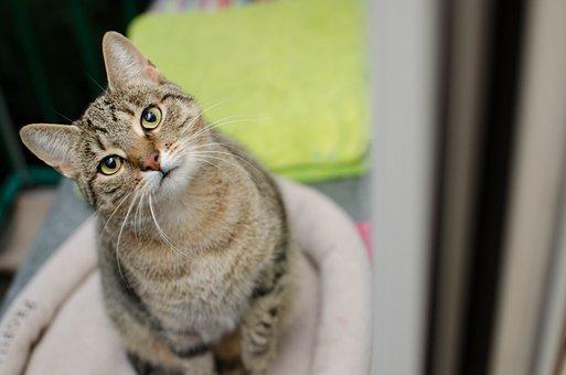 Cat, Bury Cat, Tabby, Eyes, Cat's Eyes, Animal