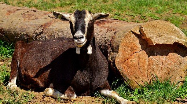 Goat, Goats, Animal, Farm, Good Aiderbichl, Sanctuary