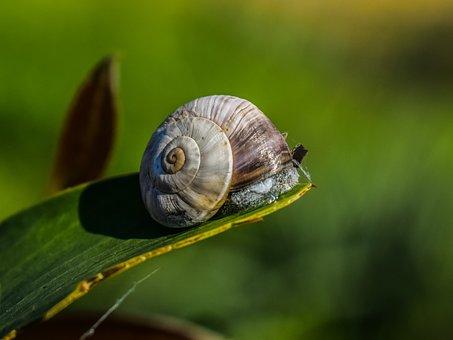 Snail, Invertebrate, Nature, Leaf, Animal, Gastropod