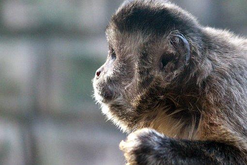 Brown Capuchin, Sapajus Nigritus, Primacy, Monkey
