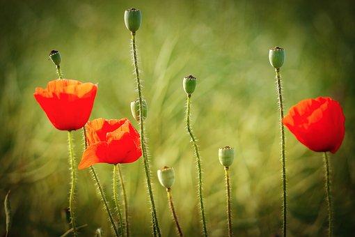 Flower, Nature, Poppy, Field, Meadow, Bud, Landscape