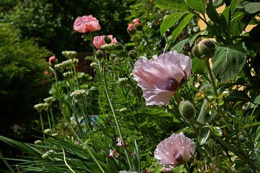 Flower, Nature, Plant, Leaf, Garden, Klatschmohn, Color