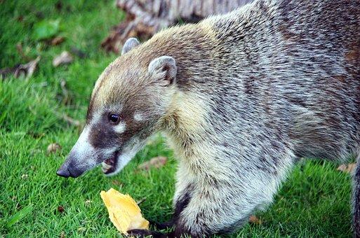 Coati, Nasua Nasua, Mammal, Procyonidae, Nature, Wild