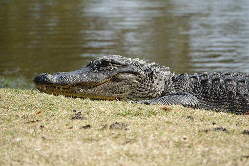 Alligator, Crocodile, Reptile, Nature, Wildlife