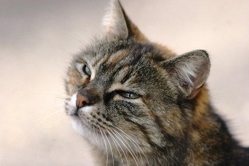 Animal, Cat, Cute, Kitten, Staring, Portrait