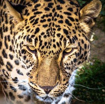 Leopard, Panther, Feline, Predator, Wild, Animal, Cat