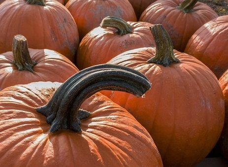 Pumpkin, Halloween, Thanksgiving, Fall, Squash Vine