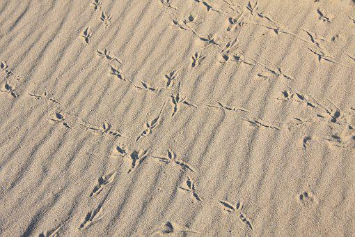 Bird, Bird Tracks, Sandy Beach, Animal Track, Reprint