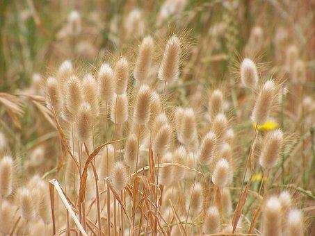 Nature, Field, Rural, Summer, Growth, Bunnytail