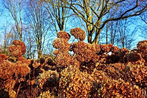 Hortensia, Hydrangea, Shrub, Flower, Withered