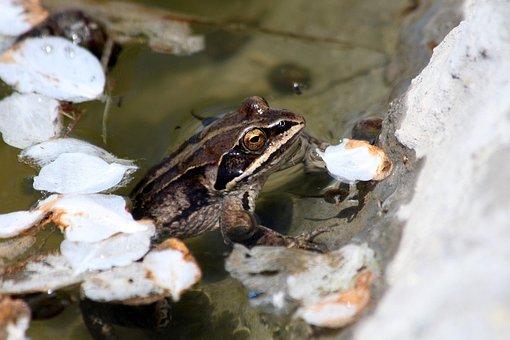 Moor Frog, Rana Arvalis, Spring, Body Of Water, Nature