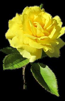 Rose, Yellow, Stem, Bloom