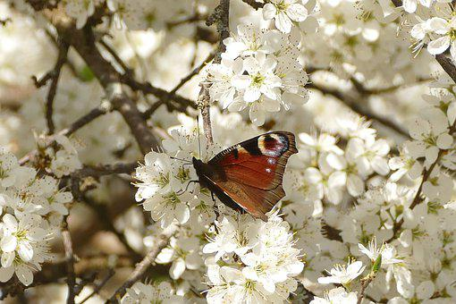 Flower, Cherry Wood, Tree, Nature, Plant, Insect