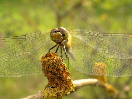 Nature, Animals, Dragonflies Różnoskrzydłe, Insect