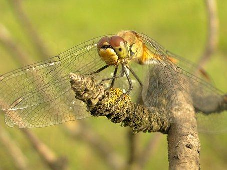 Animals, Nature, Insect, Dragonflies Różnoskrzydłe