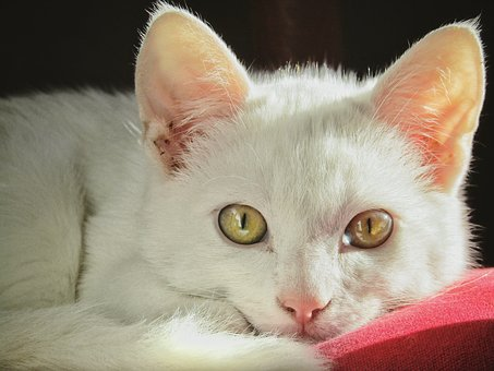 Cute, Animal, Mammal, Cat, Pet Cat, Adorable, Soft