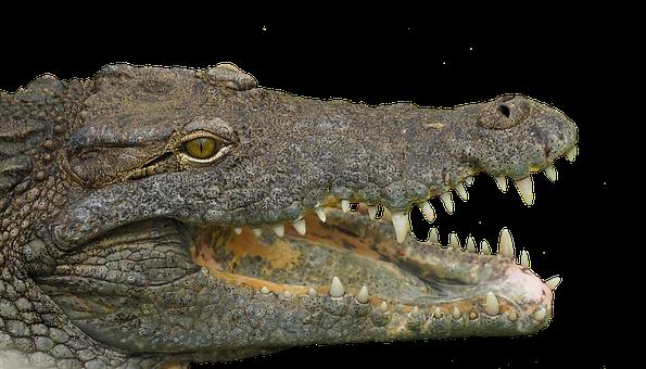 Reptile, Tooth, Animal, Crocodile, Teeth, Dangerous