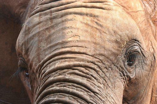 Elephant, Mammal, Nature, Tribe, Animal, Eye, Skin