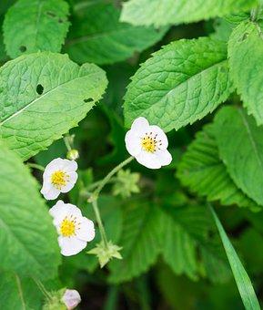 Flower, Leaves, Strawberry, Bloom, White Flowers