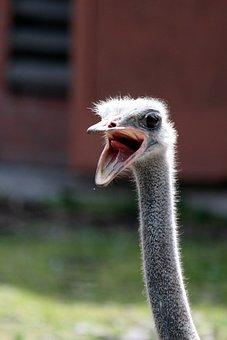 Ostrich, Bird, Living Nature, Beak, Head, Closeup, Zoo