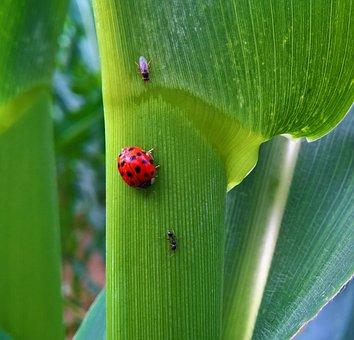 Ladybug, Leaf, Insect, Beetle, Flora