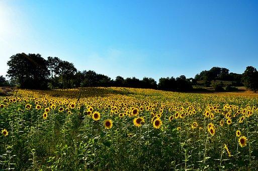 Sunflower, Nature, Landscape, Landscapes Nature, Grass