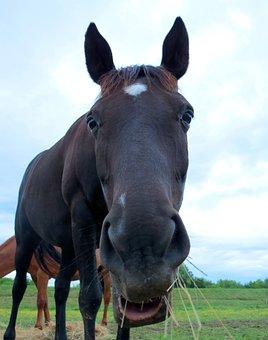 Horse, Black, Grazing, Eating, Portrait, Closeup, Mare