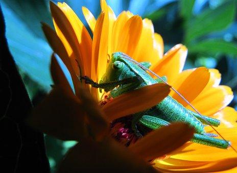 Flower, Calendula Officinalis, Nature, Plant, No One