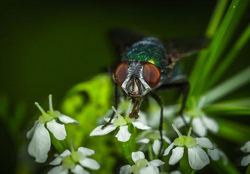 Insect, Nature, Outdoors, Sheet, No One, Meat Fly, Fly