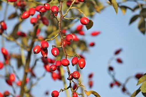 Rose Hip, Bush, Rosebush, Red, Nature, Autumn