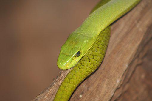 Snake, Reptile, Animal World, Nature, Venomous Snake