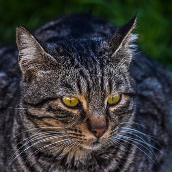 Cat, Stray, Eyes, Face, Cute, Animal, Portrait, Tabby