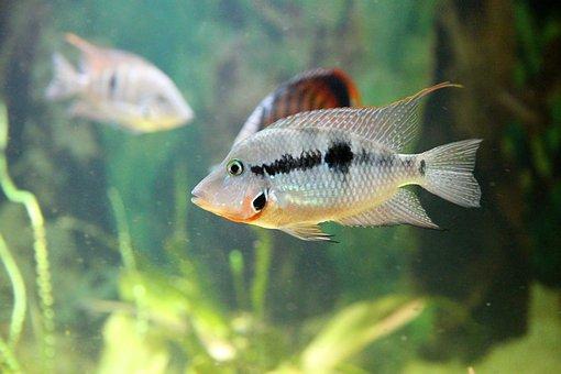Cichlasoma Meeka, Thorichthys Meeki, Cichlid, Fish