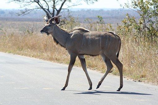 Wildlife, Mammal, Deer, Nature, Animal, Antelope, Park