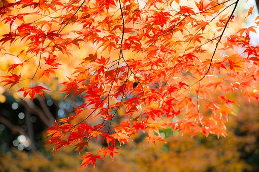 Leaf, Autumn, Seasonal, Maple, Natural