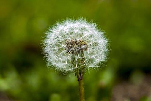 Dandelion, Depth Of Field, Nature, Plant, Summer