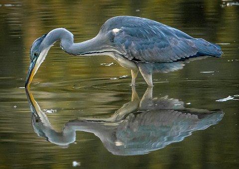 Bird, Water, Nature, Pool, Wildlife, Lake, Animal