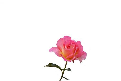 Flower, Nature, Plant, Leaf, Floral, Rose, Color, Love
