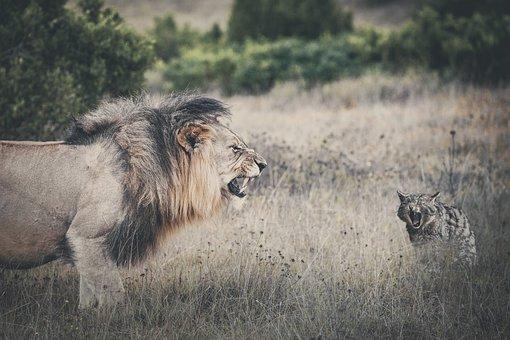 Lion, Cat, Roar, Mammal, Animal World, Animal, Nature